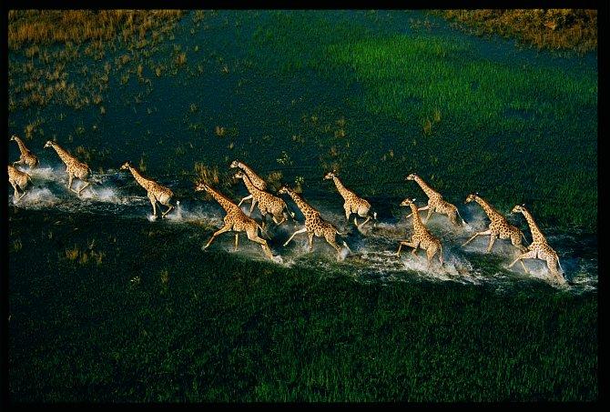 Stádo žiraf