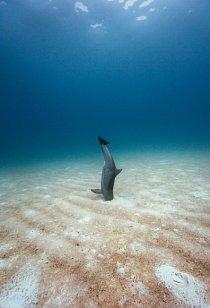 """Delfín nedaleko bahamských ostrovů Bimini pomocí echolokace vyhledává ryby ukryté na mořském dně. Jakmile nějakou objeví, vyhrabe ji zpísku """"zobákem""""."""