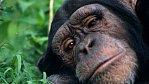 Šimpanzi házejí výkaly – a to je důkaz, že jsme příbuzní