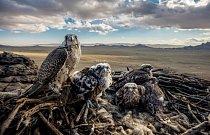 Samice raroha velkého hlídá mláďata v hnízdě nad Mongolskou plošinou. Čingischán prý choval stovky dravých ptáků pro lov. Dnes patří rarozi velcí mezi ohrožené druhy – nepříznivě na ně působí ztráta přirozeného životního prostředí a nezákonný obchod.