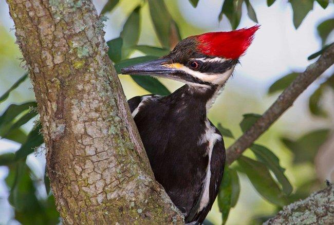 Datlův zobák slouží jako jakési dláto, které ze stromu vysekává svoji kořist.