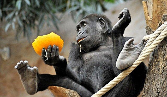 Jak poznat, zda je mládě gorila či gorilák? U Moji na to přišli až genetici