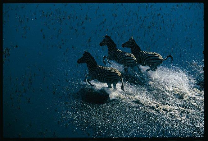 Běžící zebry