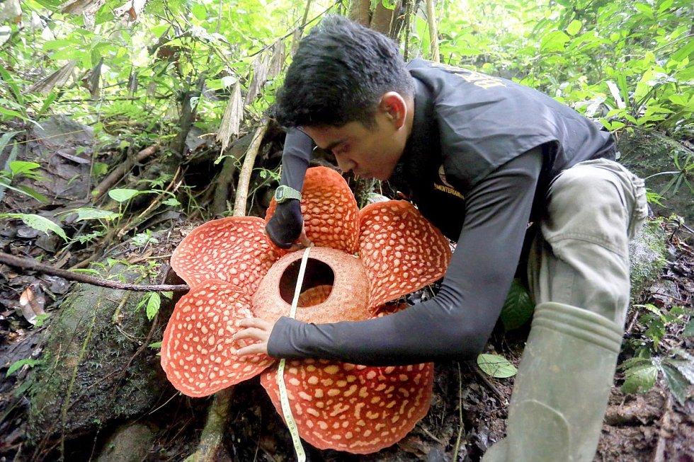 Největší květina na světě rozkvetla v tropickém pralese na západě Sumatry. Jde o druh Rafflesia Tuan-Mudae, jejíž květ je široký 117 cm. Ví se, že asi po týdnu zvadne, ale v příštích měsících by měly vykvést další čtyři poupata.