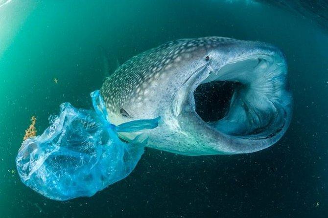 Žralok obrovský plave vedle plastového sáčku vAdenském zálivu ubřehů Jemenu. Žraloci obrovští sice patří knejvětším mořským živočichům, ale imalé kousky plastů vtrávicím ústrojí pro ně znamená značné ohrožení.
