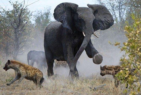 OBRAZEM: Statečná slonice ubránila mládě před hyenami