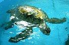 Už téměř 600 mořských želv bylo uzdraveno v