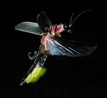 Světluška (Photinus pyralis)
