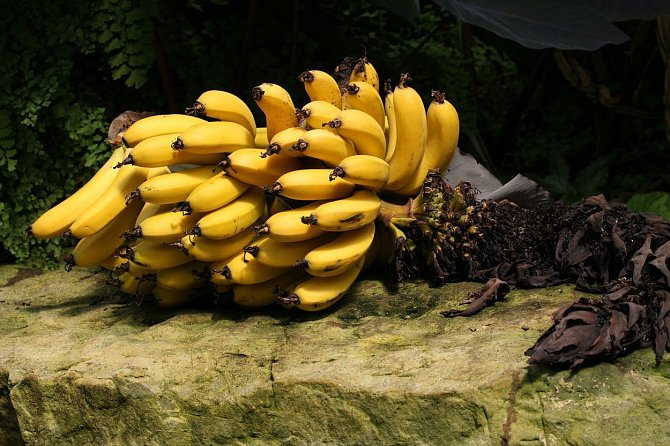 Nejpěstovanější exportní odrůda banánů Cavendish má problémy.