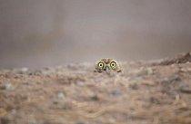 Ještě nás sledují? Zvědavá sova vykukuje ze země.