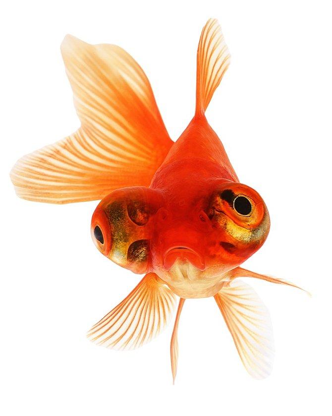Až donedávna vědci předpokládali, že mezi obratlovci mohou vykazovat emocionální horečku pouze savci, ptáci a plazi. Atedy mají kapacitu pro vědomí. Ryby byly ztéto skupiny vyloučeny.