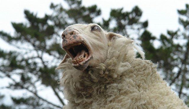 Ovce nejsou blbeééé