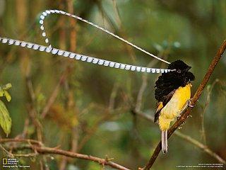 Rajští ptáci (rajka dlouhoperá)