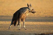 Hyena hnědá (čabraková) žije v jižní Africe.