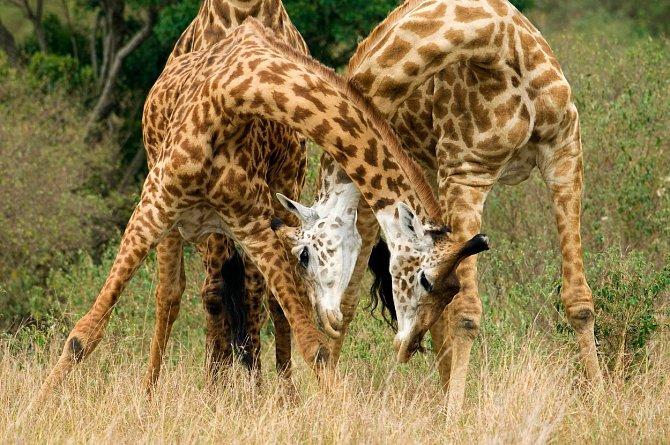 Pytláci nejsou v případě žiraf viníky nebezpečně klesajícího počtu.