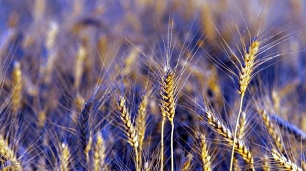 V Brně vymýšlejí modrou pšenici. Má nasytit svět