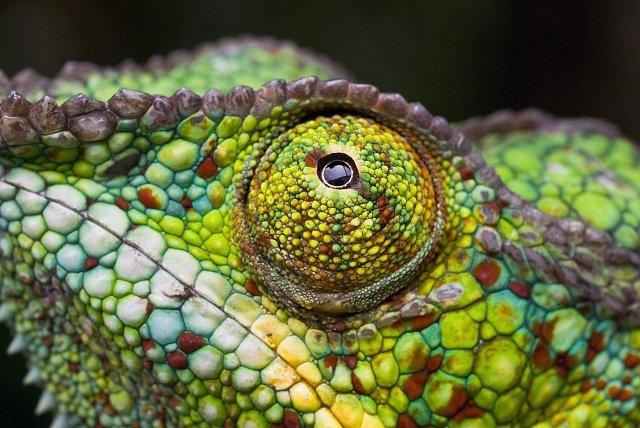 Nejkrásnější fotografie chameleonů