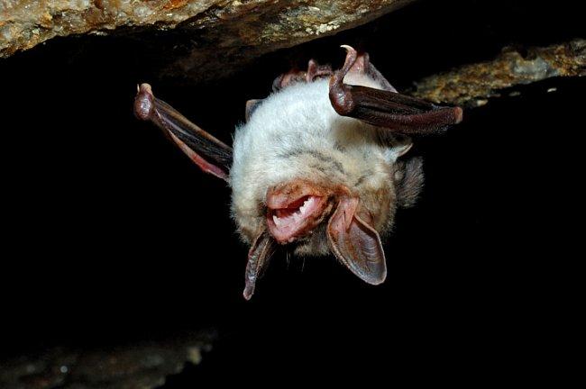 Netopýři jsou savci s křídly, která se vyvinula z předních končetin.