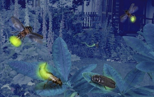 Samci světlušek jsou mazaní. Lákají samičky nejen na světlo, ale snaží se je získat i dárky
