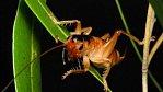 Kdyby byl šváb velký jako člověk, skákal by 100 metrů do dálky