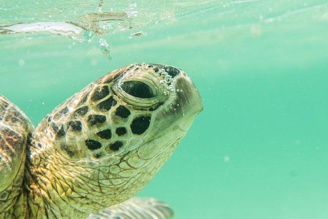 Doba dospívání se u jednotlivých druhů různí, obvykle nastává mezi 20. až 50. rokem života želvy.