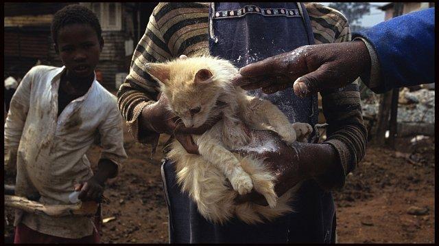 Malá kočka dostává od veterináře pudr proti blechám.