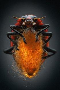 Říká se, že slunéčka přinášejí štěstí – ale slunéčko infikované lumčíkem druhu Dinocampus coccinellae je rozhodně nešťastné. Když samička lumčíka napíchne slunéčko, zanechá po sobě jediné vajíčko. Jakmile se z vajíčka vylíhne larva, začne užírat hostitele