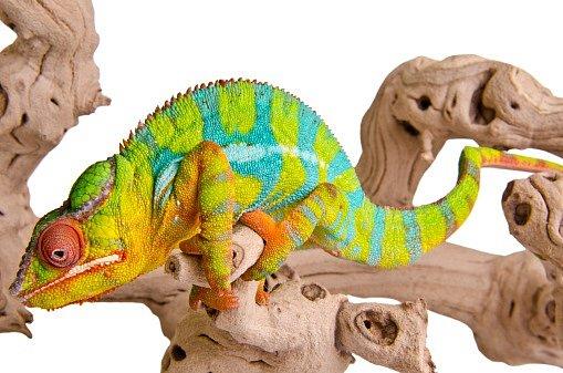 Některé druhy, jako například panter, dokáží změnit barvu během dvou minut.