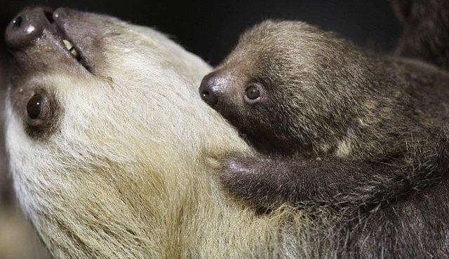 Vědci odkrývají sexuální život lenochodů. Patří k němu polygamie i promiskuita
