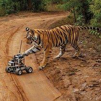 Samice tygra indického se jej nebála. Chvilku se zdálo, že si jeho přítomnost užívá. Po chvilce se s ním však vypořádala několika silnými údery.