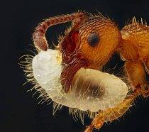 9. místo: Mravenec (Myrmica sp.) nesoucí larvu, 5x zvětšeno.