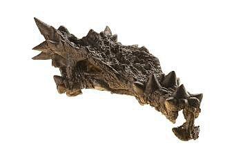 """Velmi zdobný dinosaurus, který se ocitl na obálce prosincového vydání National Geographic vroce 2007, byl původně popsán jako nový druh a byl pojmenován Dracorex hogwartsia neboli """"dračí král zBradavic"""" podle školy čar a kouzel zknih oHarry Potterovi."""