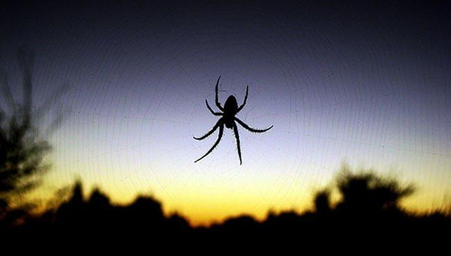 Pavouci přestávají spřádat sítě. Zlenivěli?