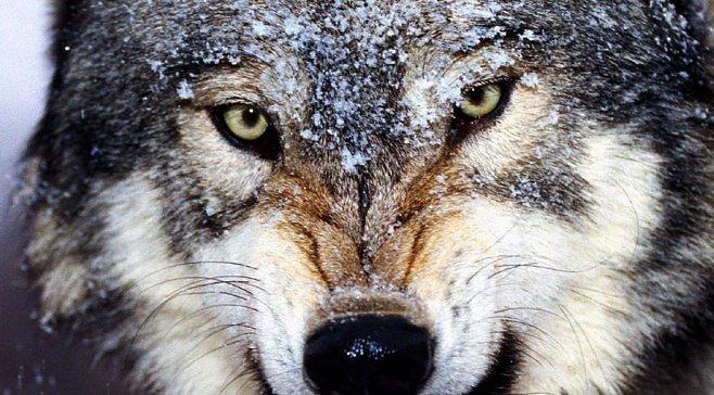 Wolf S Rain Dog