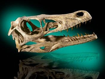 Lebka dinosaura Velociraptor mongoliensis pochází zobdobí svrchní křídy zmongolské pouště Gobi. Tohoto dromaeosaura proslavil film Jurský park zroku 1993, ale ve skutečnosti byl mnohem menší než ve filmu a vjeho pokračováních.