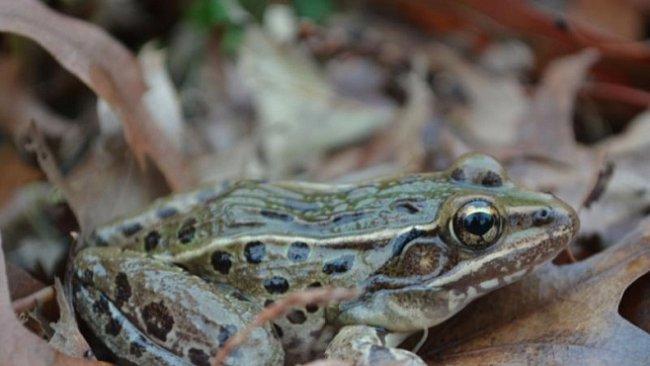 Vědci objevili nový druh žáby. Uprostřed New Yorku