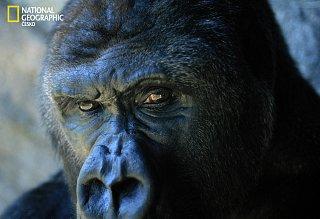 Gorila: z očí do očí