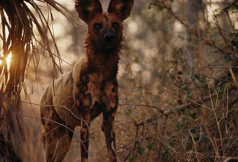 Pes hyenovitý
