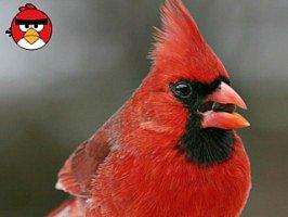 Poznáte naštvané ptáky?
