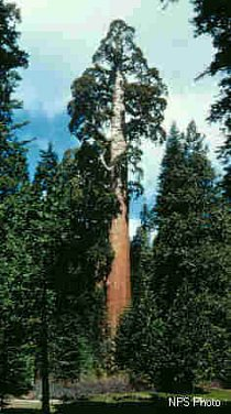 Sekvojojovec obrovský se může dožít několika tisíc let.