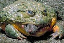 Trošku větší žába