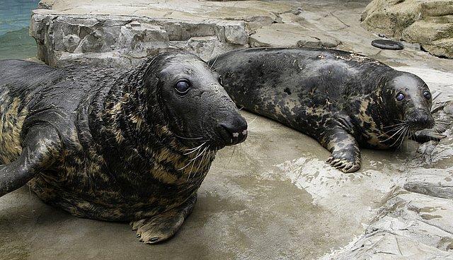 Tuleni kuželozubí se dožívají až 40 let. Zdroj: Smithsonian National Zoo