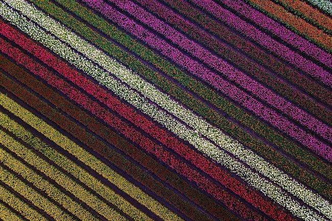 Málo se ví, že tulipány jsou původem z Číny, odkud se postupně dostaly do Turecka, severní Afriky a Japonska.