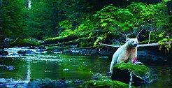 Dále na sever v lesích oblasti Great Bear Rainforest v Kanadě uvidíme jeden poddruh jindy černého medvěda baribala, který se vyznačuje bílým kožichem. Známe jej pod označením medvěd bílý a během podzi