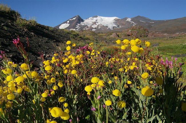 Protože jaro se teprve překlápělo do léta, louka byla plná barevných kytek. Tyto se jmenují Calceolaria, česky pantoflíček.