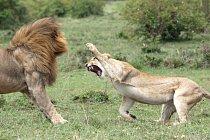 Lvi jsou pro boj přímo stvořeni. Bojují o samice, teritorium, o postavení ve smečce, o jídlo a někdy i o život.