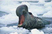 Rypouš loní je největším ploutvonožcem z čeledi tuleňovitých, který žije v blízkosti Antarktidy.