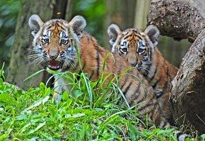 Mláďata tygrů ussurijských Kimberly a Dexter