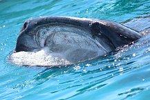 Tlama žraloka velrybího