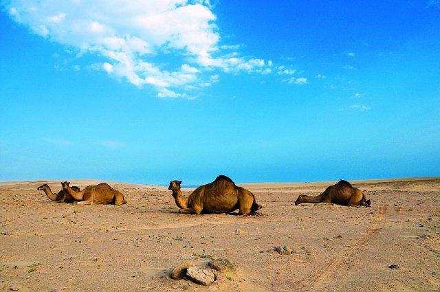 Stejně jako v jiných arabských státech se můžete i v Ománu projet na velbloudovi.